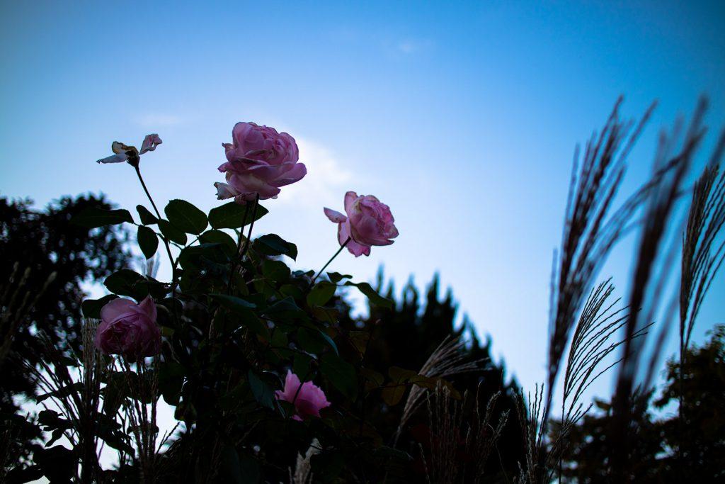 EOS M3+EF-M22mmの作例「バラの花」